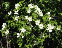 Dogwood is in full bloom