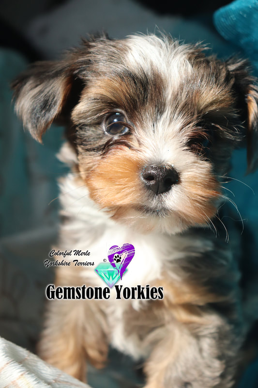 Tiny Teacup Yorkie Puppies For Sale Near Me Cheap : teacup, yorkie, puppies, cheap, Yorkies, Online