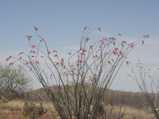 ocotillo and dry grass