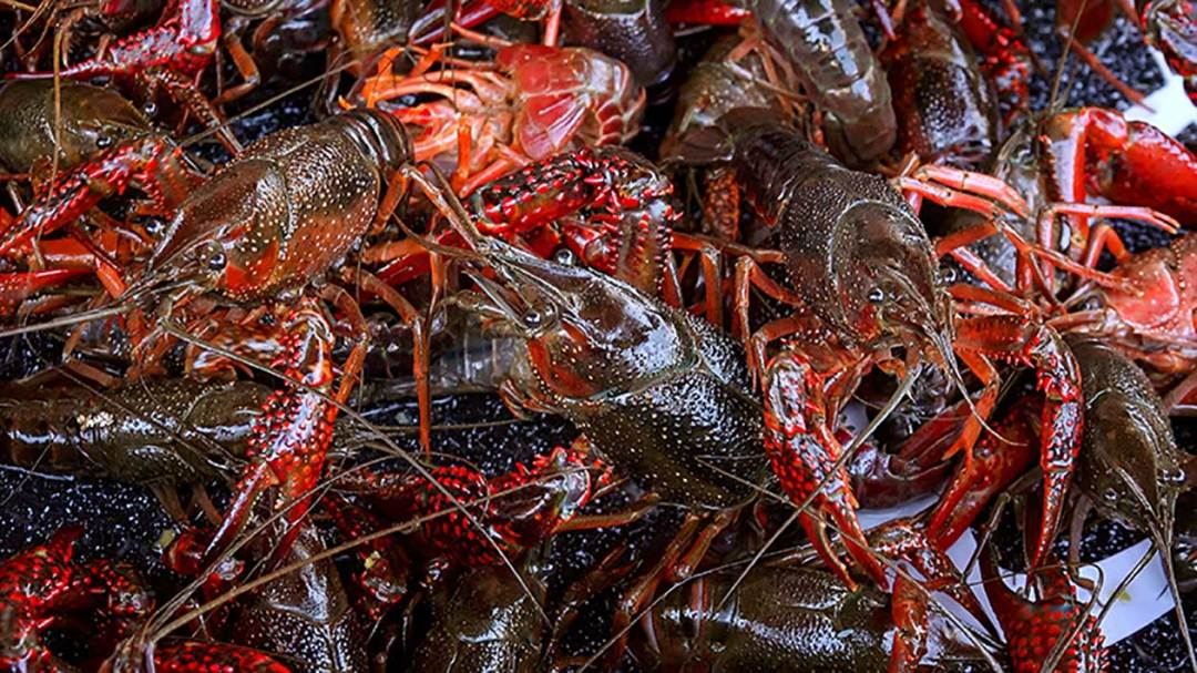 Live crawfish for an easy Mardi Gras Crawfish Boil
