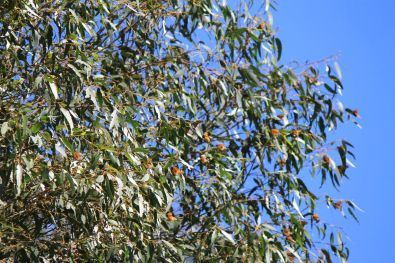 The overwintering monarchs stay at Pismo Beach.
