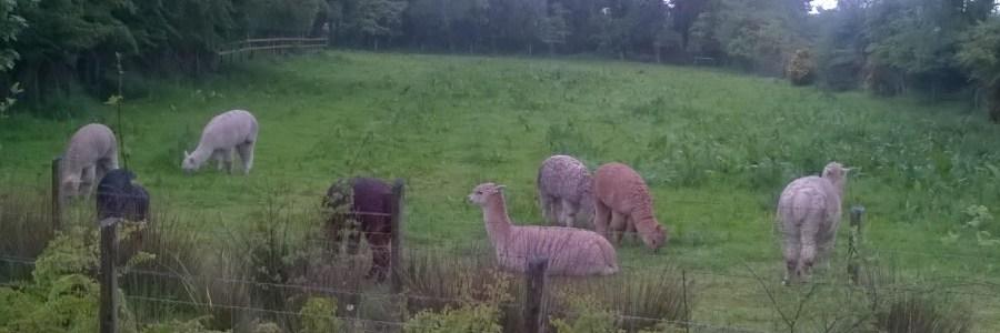 Llocal Llamas
