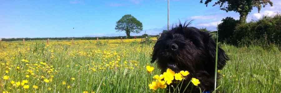Puppy Loki in the Buttercups