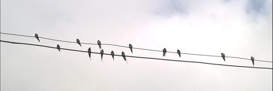 Swallows' Swan Song