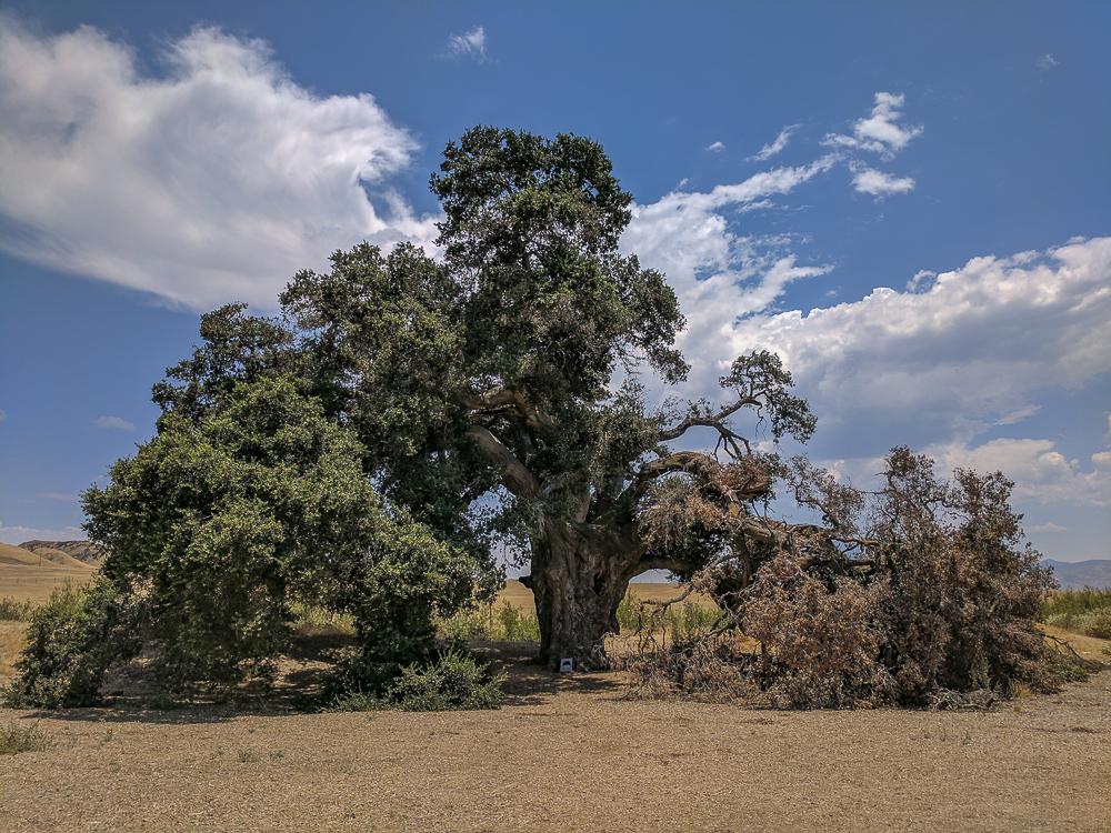 Tausendjähriger Eichbaum in Highland Springs – Cherry Valley