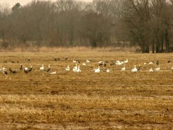 wild white and black geese walking in a golden field