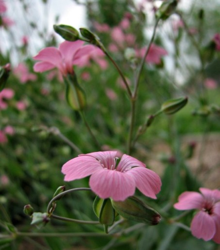pink wildflowers with buds growing in the butterfly garden