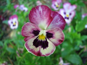 macro photo of a purple and white pansy