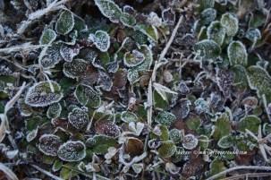frost bitten... 3