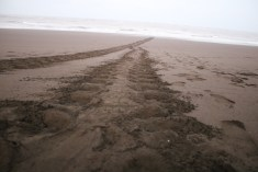 tracks of the female turtle's flippers as she came in to nest.