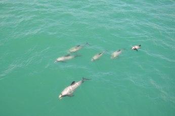 Hector's Daulphins in Akaroa