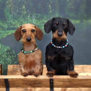 Merrywind Teckels ~ Dachshund colors, coats and patterns