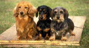 Merrywind Teckels Dachshund Colors Coats And Patterns