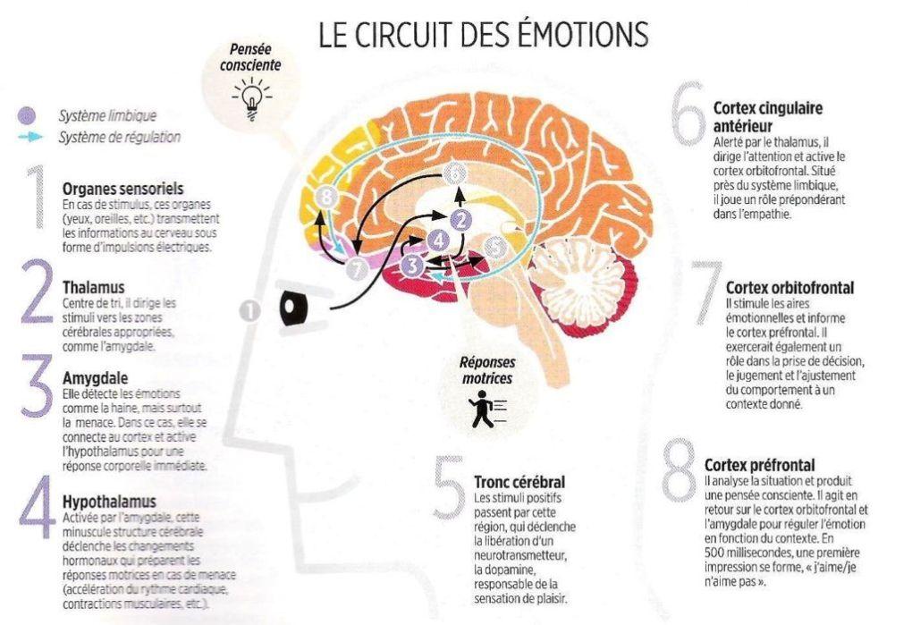 cerveau et circuit des émotions