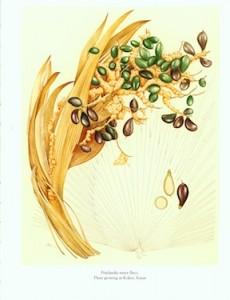 Courtesy of the National Tropical Botanical Garden & Mary Grierson, botanical artist