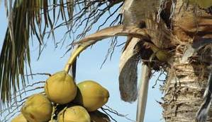 Palm Fact of the Week:  I Like Coconuts