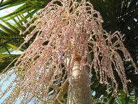 king-palm-tree4