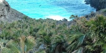 Featured Palm: Pritchardia remota, or Nihoa fan palm