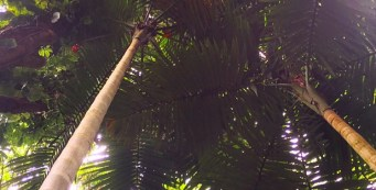 Featured Palm: Calyptrocalyx spicatus