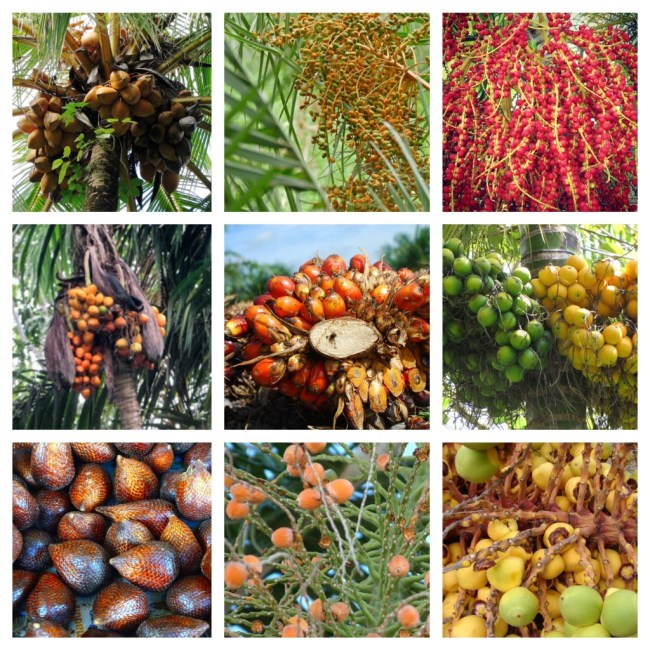 Top Row: coconut palm, date palm, acai palm. Middle Row: