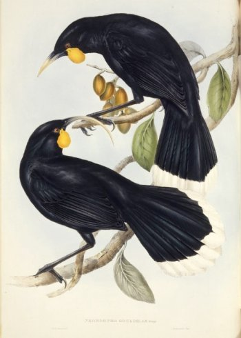 Male and Female Huia - Illustration by Gould