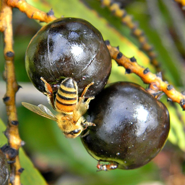 Serenoa repens - Saw Palmetto Fruit with bee - Bob Peterson - CC 2.0
