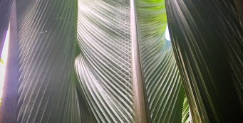 "Palm Fact of the Week: Marojejya darianii or ""Big Leaf Palm"""