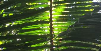 "Featured Palm: Laccospadix australasious, or ""Atherton Palm"""