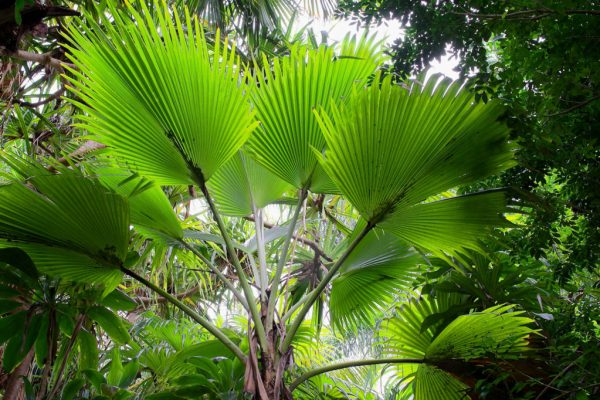 Pritchardia Hillebrandii, a native Hawaiian palm growing in the Merwin Palm Forest