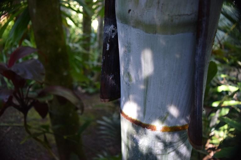 Bentinckia nicobarica in Merwin's garden
