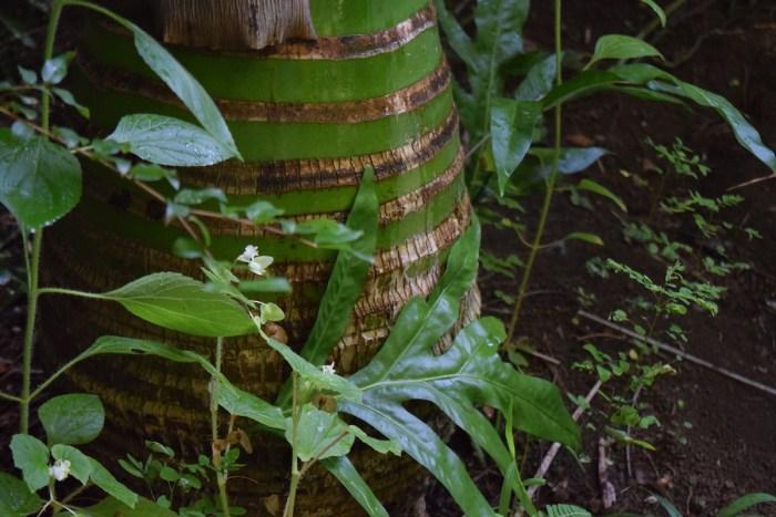 Carpoxylon macrospermum