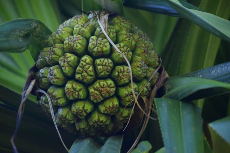 Hala Fruit - Sara Tekula - Merwin Conservancy