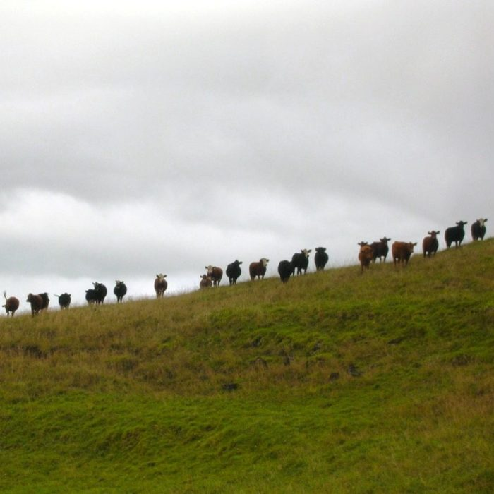 Cows on Maui by Forrest and Kim Starr
