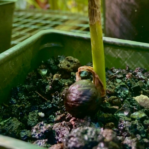 Seed sprouting in Merwin Palm Forest nursery