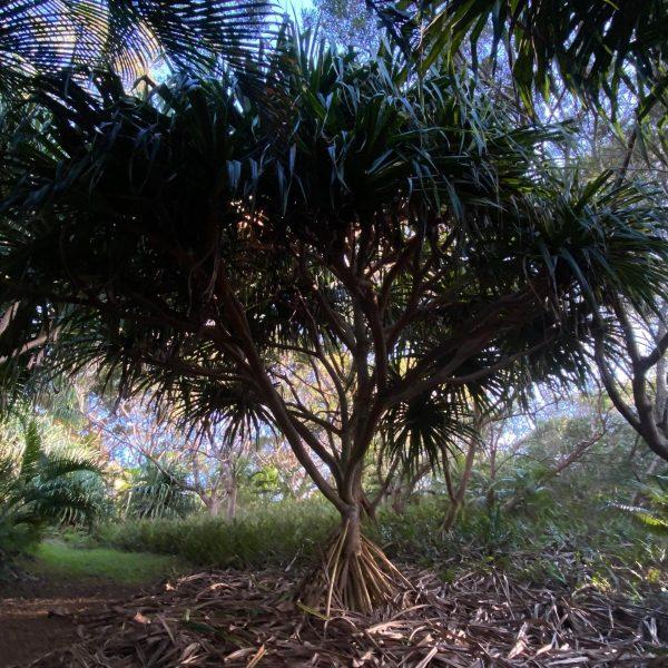 Hala Tree in Merwin Garden