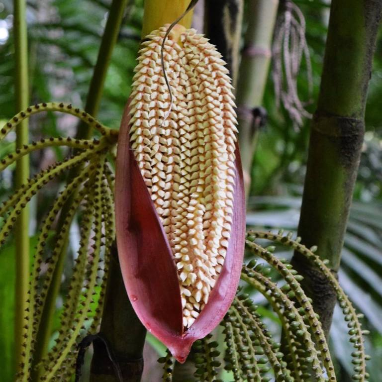 Pinanga Coronata - Ivory Cane Palm