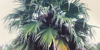 Featured Palm: Pritchardia tahuatana