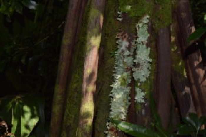 "The ""stilts"" of the Seychelles Stilt Palm"