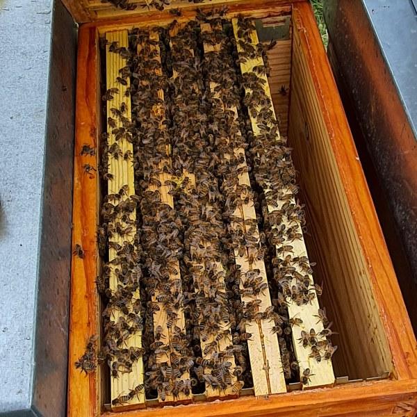 vente essaim abeilles buckfast