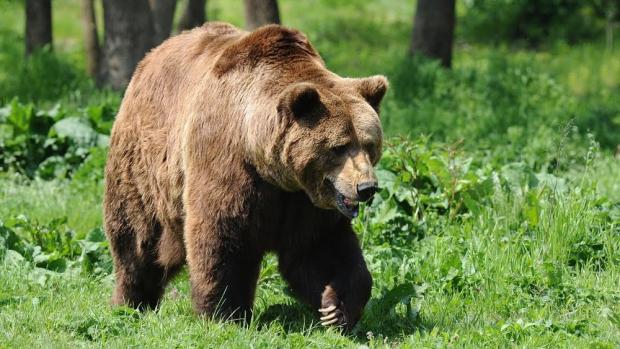 Urs filmat în parcarea unui hotel din staţiunea Covasna