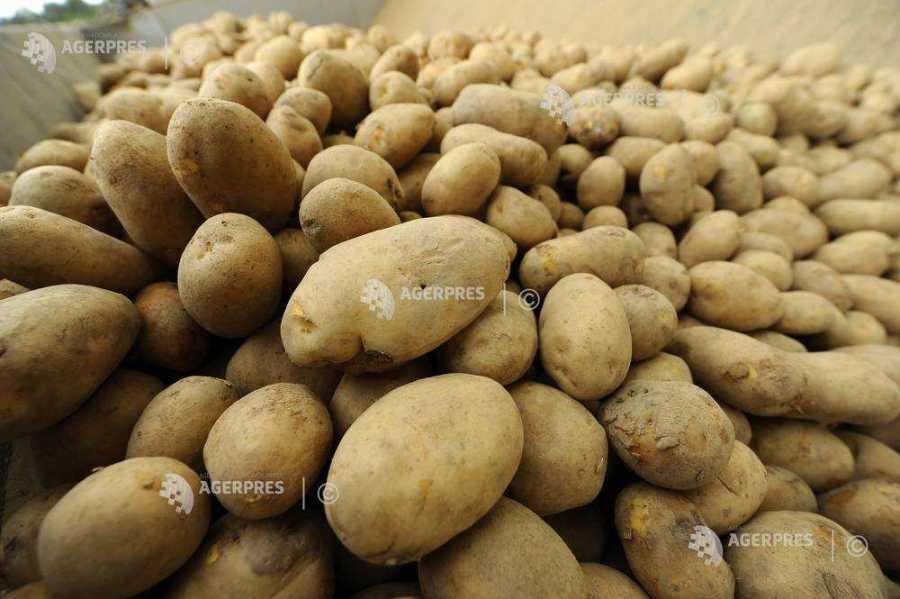 Producția de cartofi din județ, mai mare în 2020, față de anul anterior. Prețul de livrare, sub cel de producție