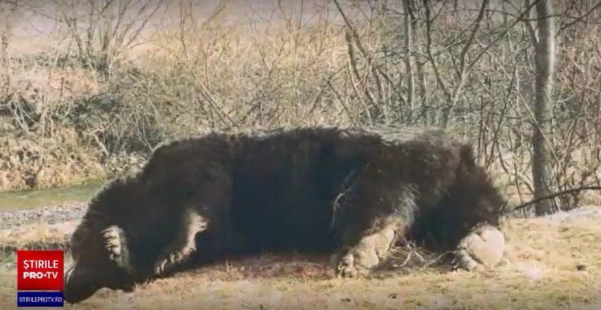 Şeful Gărzii Naţionale de Mediu: Avem suspiciuni de braconaj în cazul uciderii ursului din Covasna
