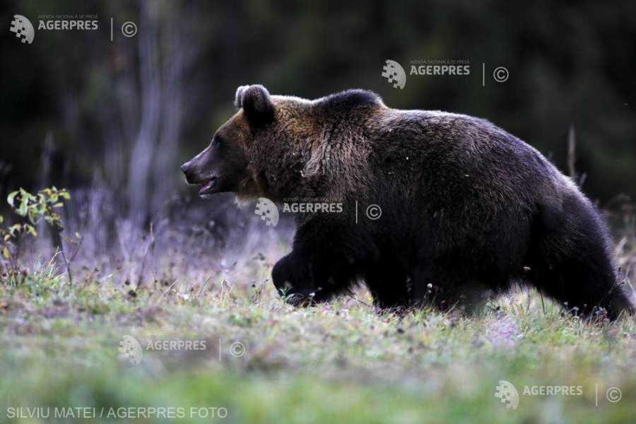 Guvernul a adoptat OUG care permite împușcarea urșilor. Tanczos Barna: Primarul va decide prin ce mijloc să fie îndepărtat ursul