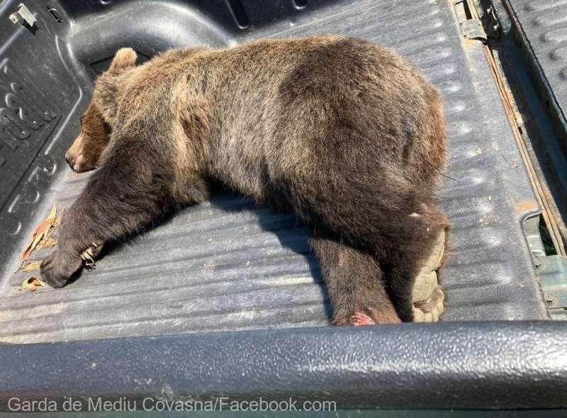 Covasna: Un urs accidentat grav de o maşină pe DN 12 a fost eutanasiat