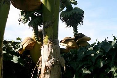 Les bananiers de mon jardin... ils poussent lentement mais sûrement ! - Photos Marie-Sophie-Bock-Digne