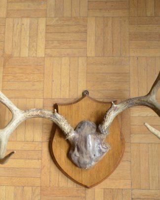 Très beau trophée de cerf de virginie. Le cerf de virginie est couramment appelé biche des palétuviers en Guyane et chevreuil au canada. C'est un cervidé originaire d'Amérique mais il a été introduit dans de nombreux autres pays comme la Finlande ou l'ancienne Tchécoslovaquie. Les bois ne sont pas identiques. Le massacre est fixé sur un support en bois fait 25 cm de haut sur 20 cm de large. Le tout fait 1, 213kg. Le massacre n'est fixé que par 1 clou au lieu de 2