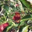pomme pourrie dans arbre