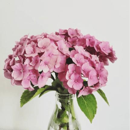 sem 30 hortensias roses pales