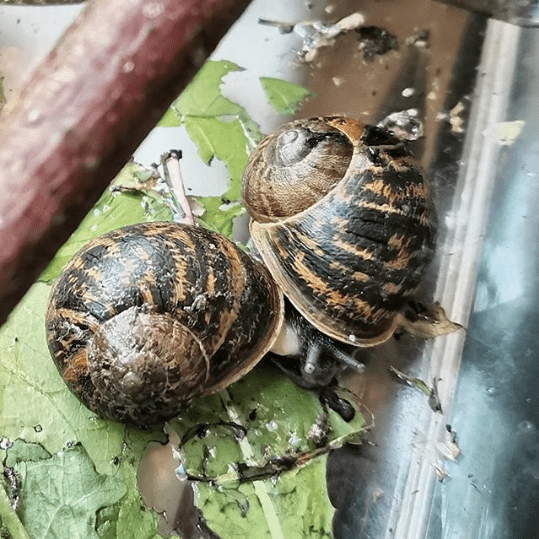 reproduction escargots