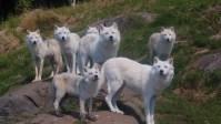 Winter Wolves, Omega Wildlife Park